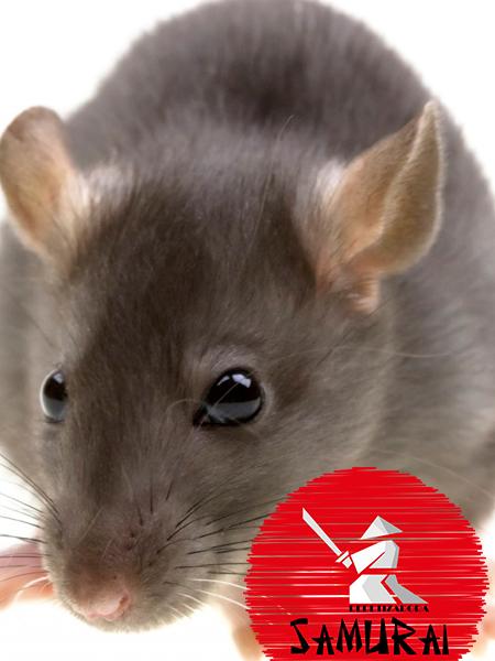 Desratização (Dedetização de Ratos)